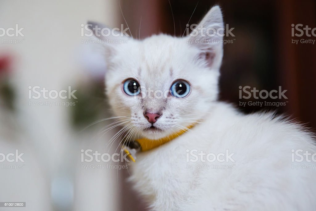 Grey Kitten With Blue Eyes Stock Photo Download Image Now Istock