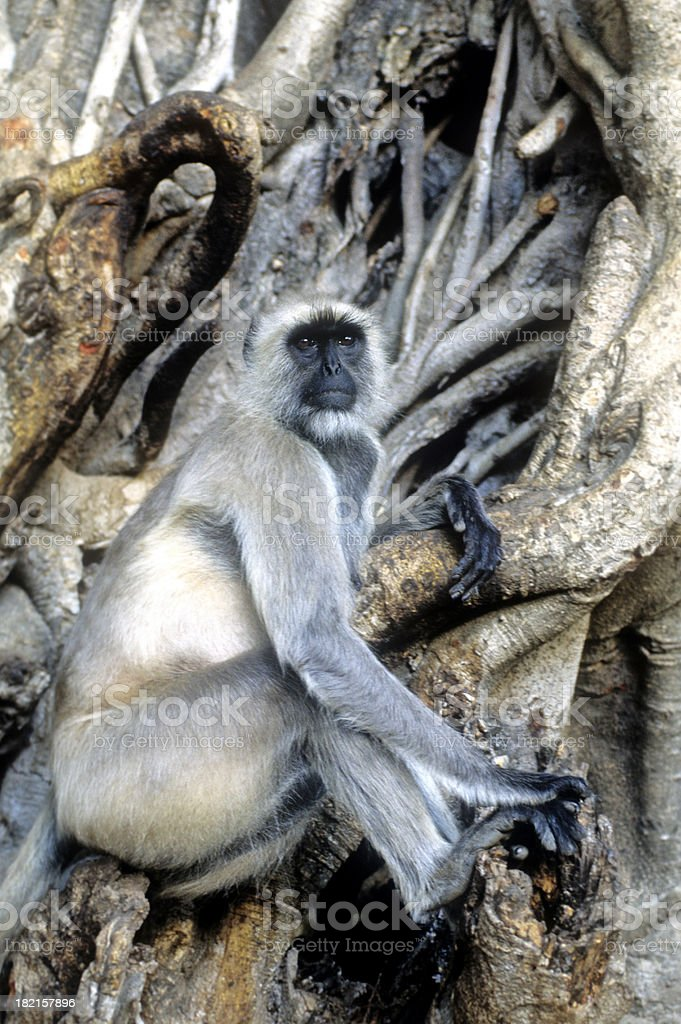 Grey Langur stock photo