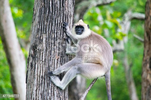 Grey Langur sitting on a tree