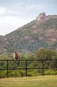 Grey Langur sitting on a metal fence in Sri Lanka.