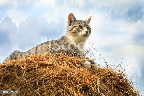 Striped, grey little cat sitting on hay.