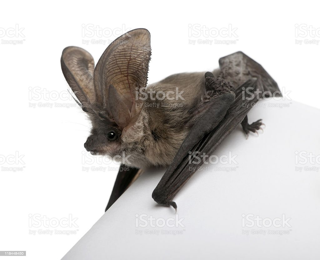 Grey long-eared bat in front of white background stock photo