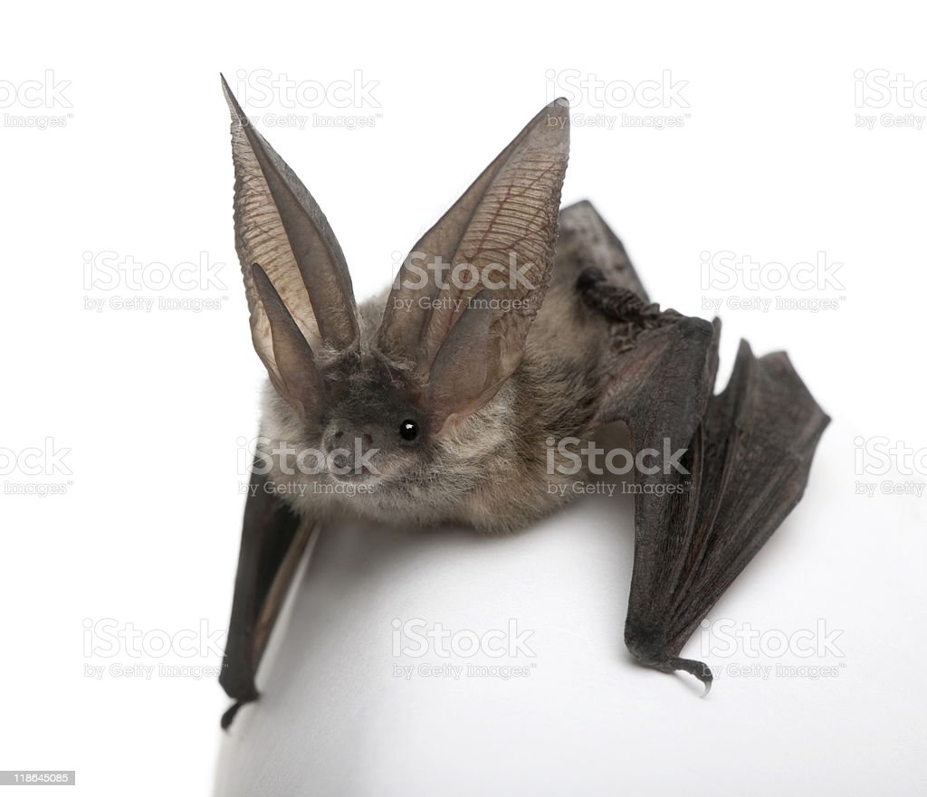 Grey long-eared bat in front of white background royalty-free stock photo