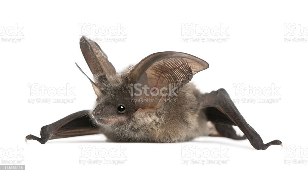 A grey long-eared bat laying on a white background stock photo