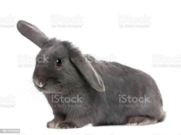 Grey lop rabbit in front of a white background picture id981530928?b=1&k=6&m=981530928&s=612x612&h=t4fwarrvvwlfnapflpyb3oeeckrsh0q6 vf jbsij1a=