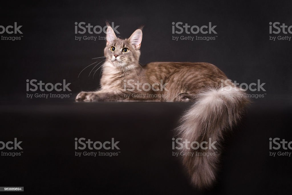 Grey Maine coon cat lying on black background - Royalty-free Animal Stock Photo