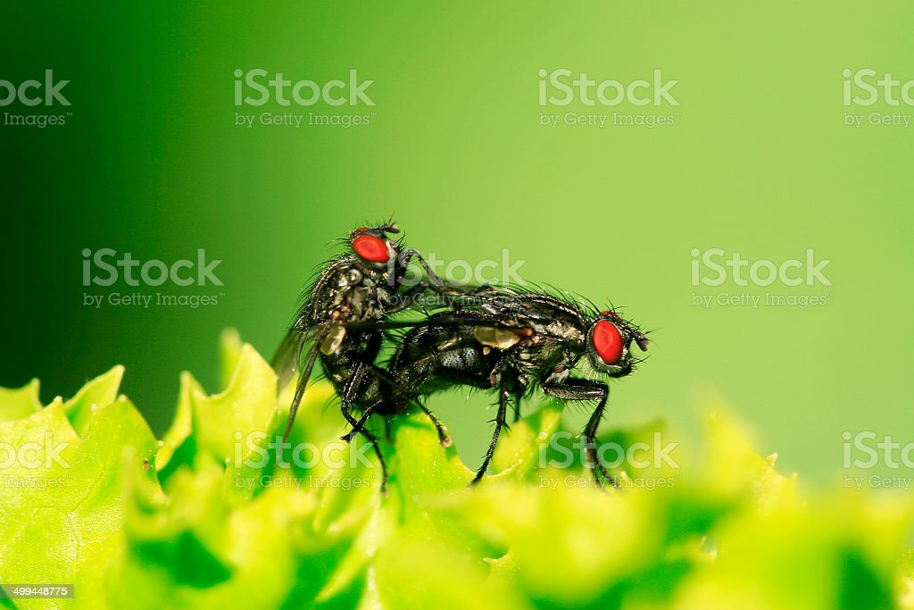 Graue Fleischfliege stock photo
