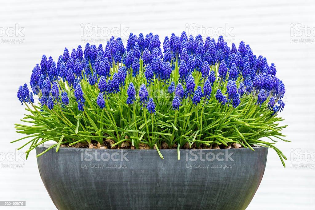 Grey metal flower box with blue grape hyacinths stock photo