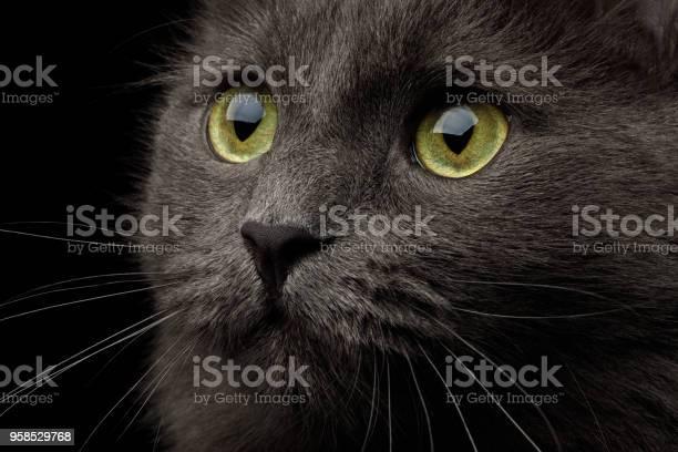 Grey mixedbreed cat on black background picture id958529768?b=1&k=6&m=958529768&s=612x612&h=cnvpgtsapx1xlbs32typ7f1deawm8m1koymmezv4j3i=
