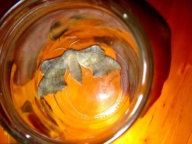 grau motte laothoe populi-carl von linné - mottenfalle stock-fotos und bilder