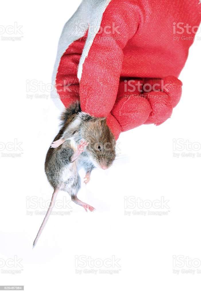 Grey mouse in hand disinfectant worker in the glove stock photo