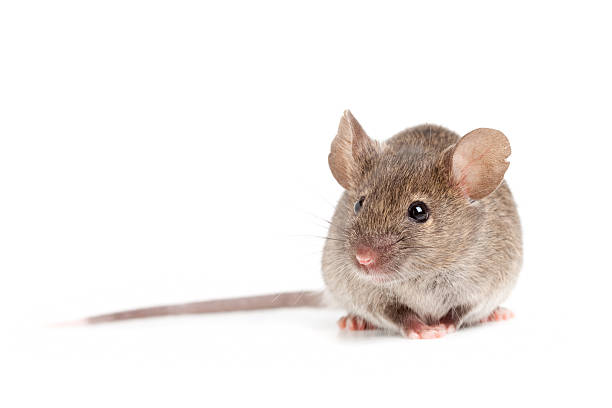 grey mouse isolated on white grey mouse close up isolated on white background rodent stock pictures, royalty-free photos & images