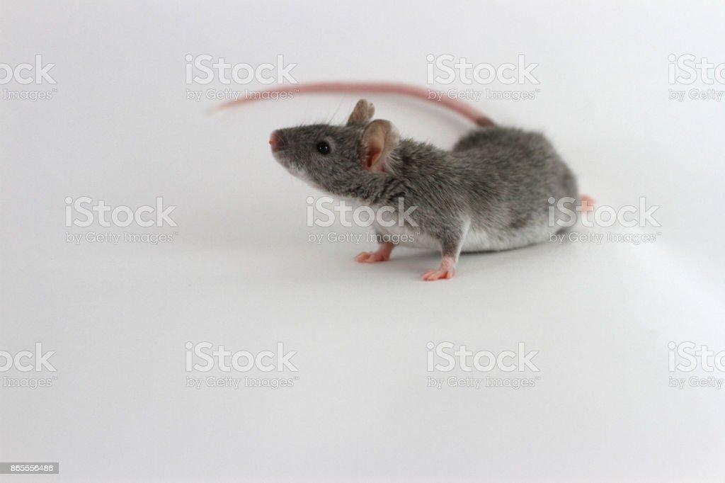 Grey Mouse on white background stock photo