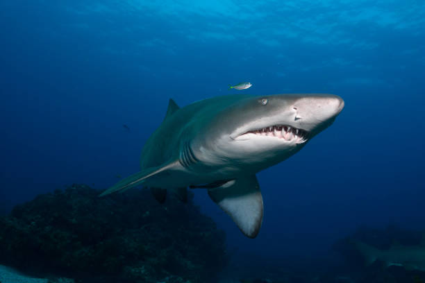 Grey Nurse Shark, Tweed Heads, New South Wales, Australia