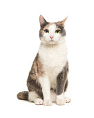 istock Grey, orange and white female cat sitting seen from the front facing the camera isolated on a white background 1250624620
