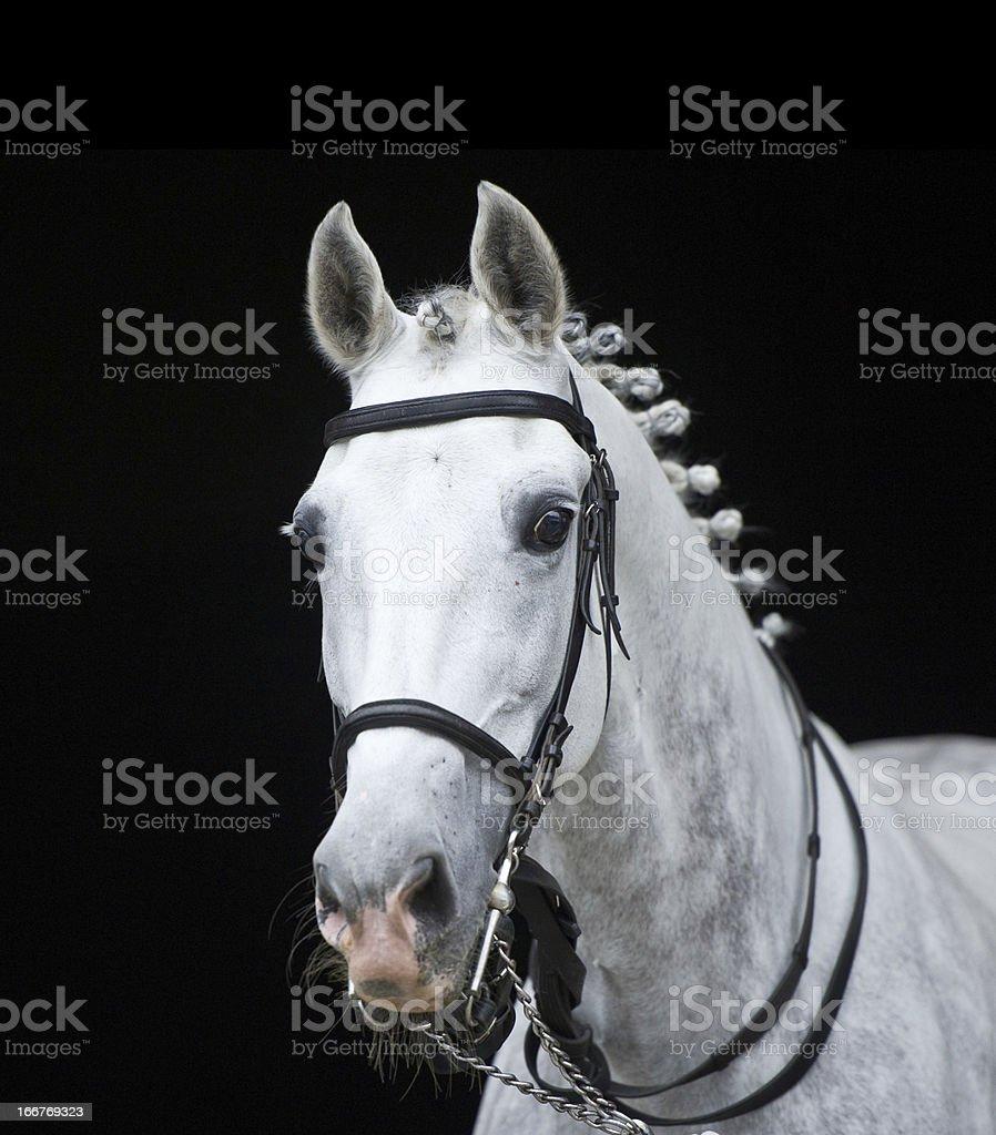grey orlov trotter horse on black stock photo