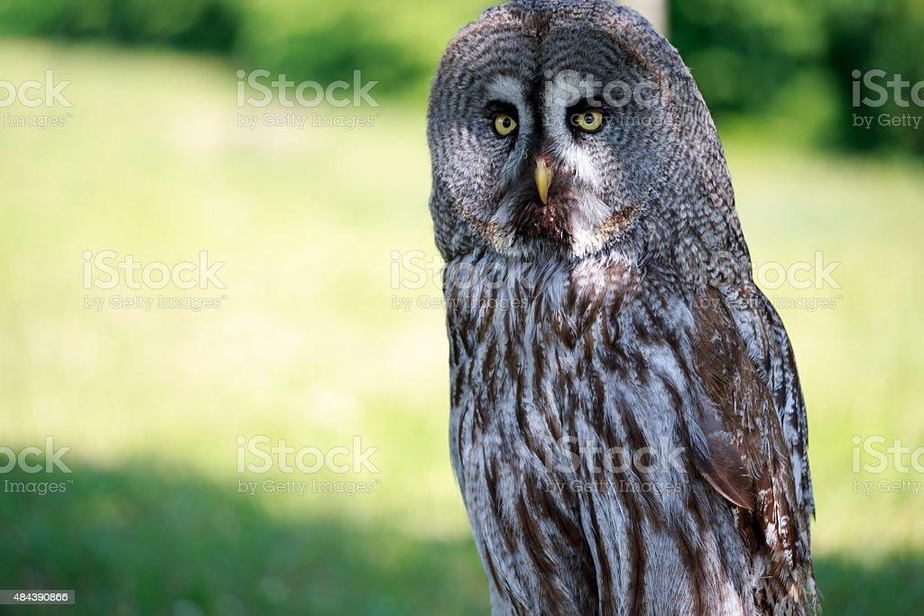 Grey Owl stock photo