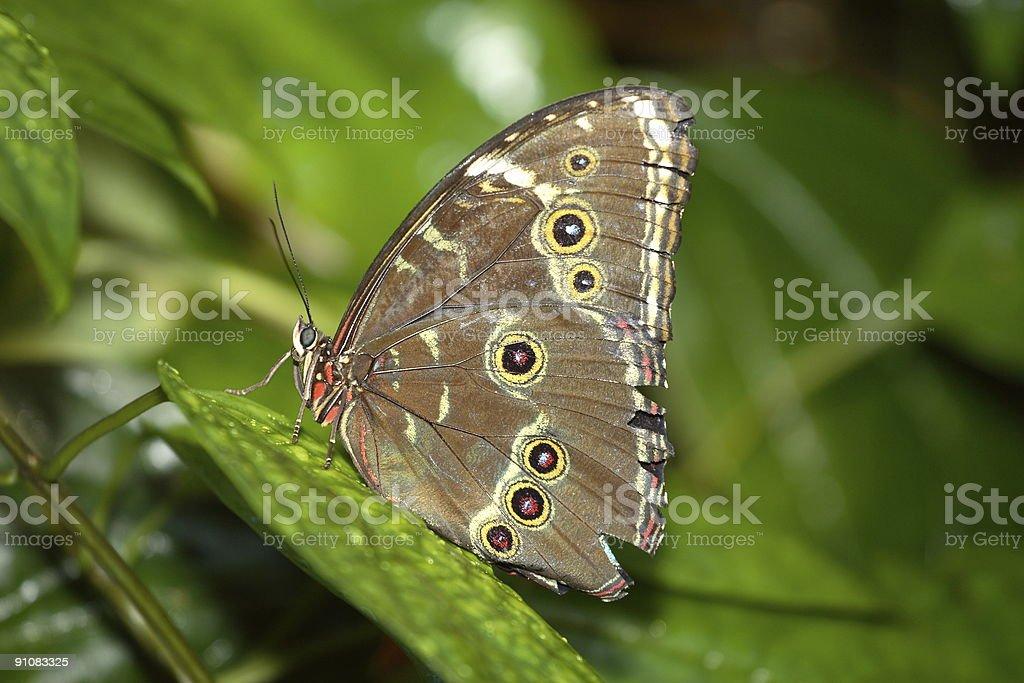 Grey Pansey (Precis Atlites) Butterfly On Green Leaves stock photo