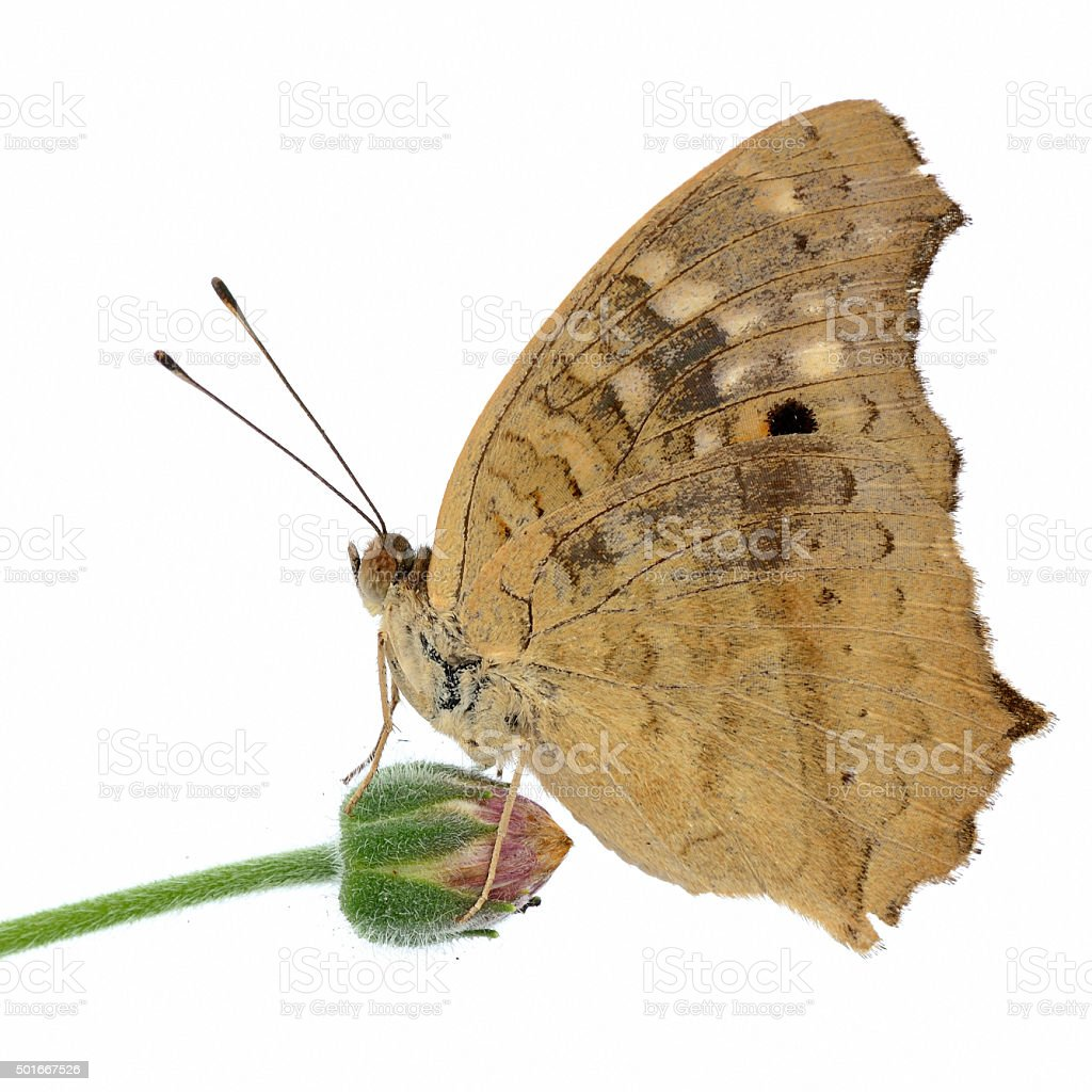 Grey pansy butterfly stock photo