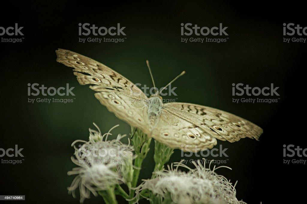 Grey Pansy Junonia Atlites Busking Butterfly, India stock photo