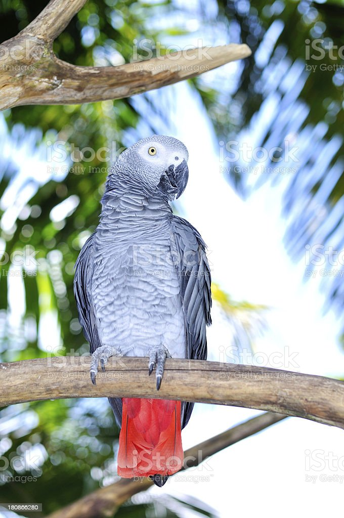 Grey parrot in the jungle stock photo