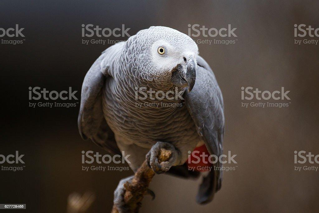 Grey parrot stock photo