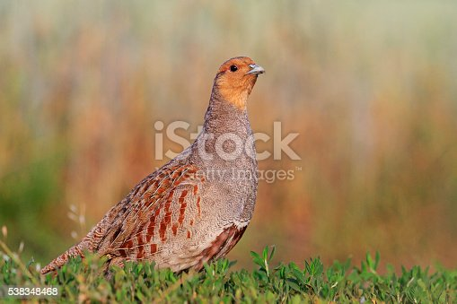 Grey partridge beautiful poses in the grass, wild bird unique moment