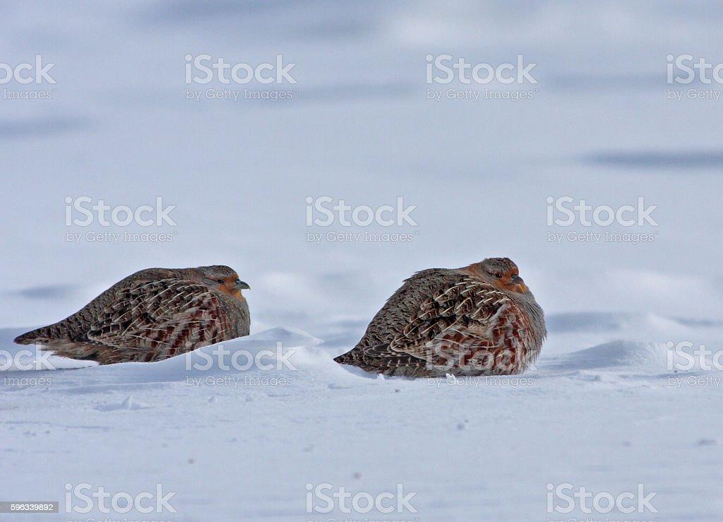 Grey partridge royalty-free stock photo