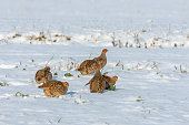 Six grey partridges searching for something to eat in snow.