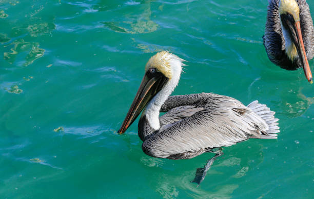 Grey pelican floats in turquoise blue water so clear you can see feet stock photo