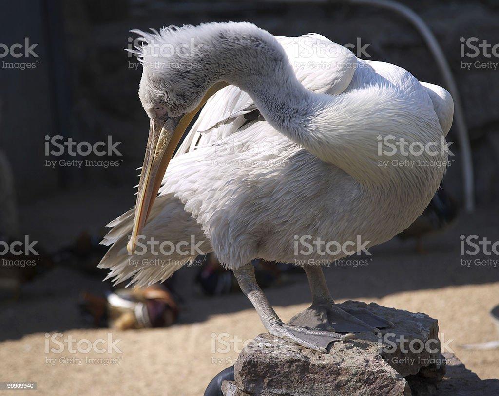 Grey pelican  royalty-free stock photo