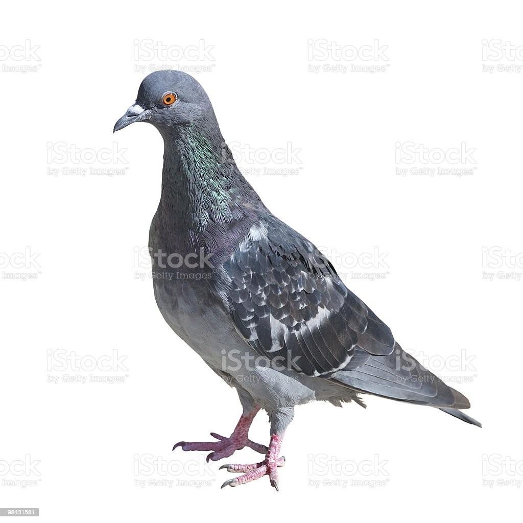 Grey pigeon isolated on white royalty-free stock photo