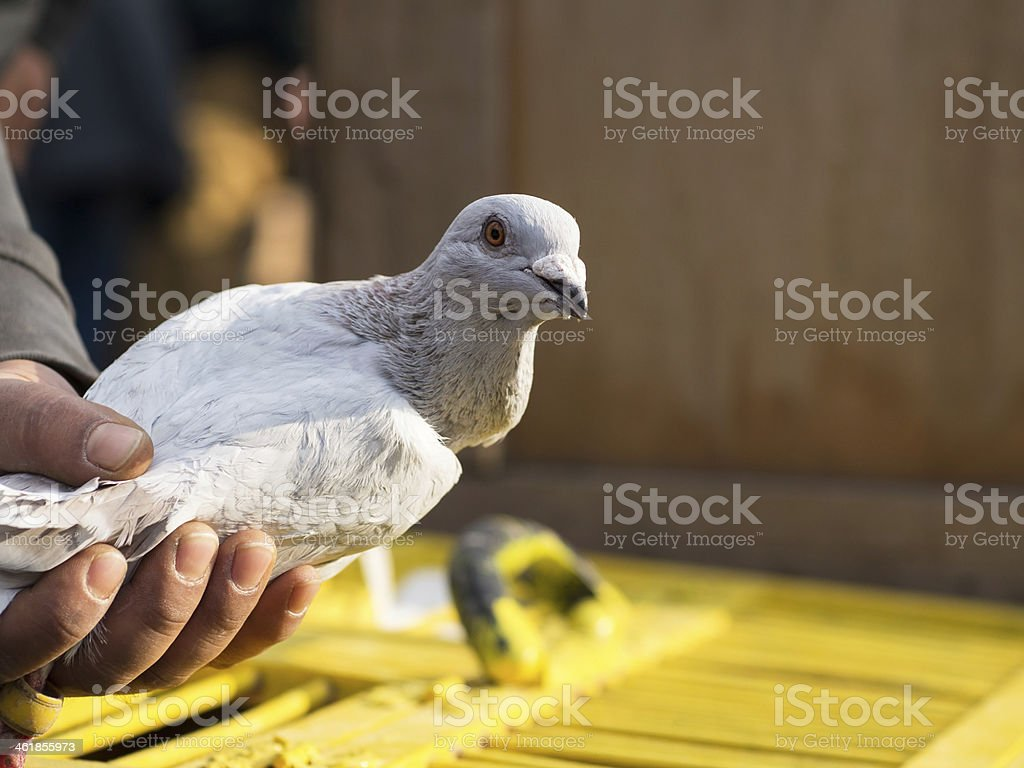 Grey Pigeons in Hand stock photo