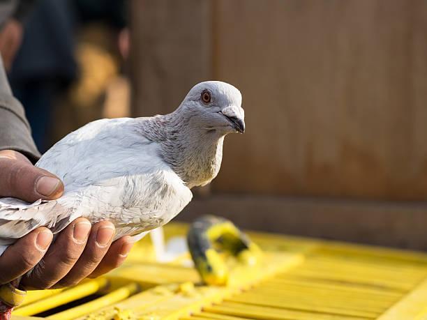 Grau Tauben in der Hand – Foto
