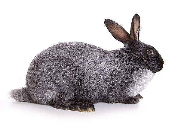 Grey rabbit isolated on white picture id147654073?b=1&k=6&m=147654073&s=612x612&w=0&h=nqq78f7xeqrx97ceqfyo jr9iw75 ny6igheh6bt1y8=