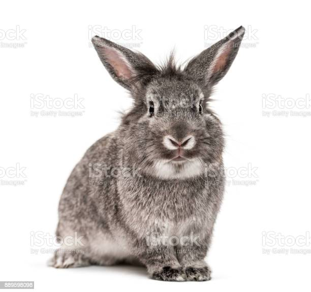 Grey rabbit isolated on white picture id889598098?b=1&k=6&m=889598098&s=612x612&h=thowjo34yxwh7iiizkn3t1hhilcrp71pyfbjmjkjvqs=