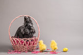A live grey lionhead rabbit sits inside of a pink wicker Easter Basket against a grey background. Two yellow baby chicks and a yellow egg are next to the basket.