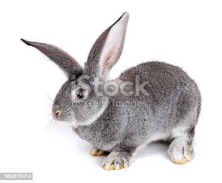 istock Grey rabbit on white background 980870414