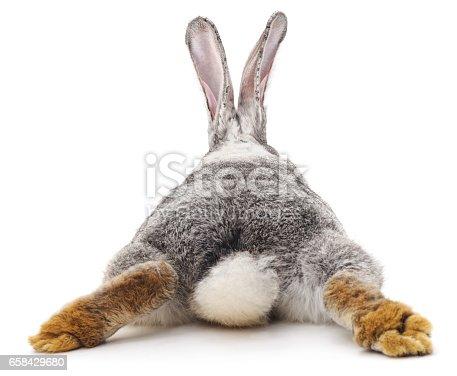 istock Grey rabbit. 658429680