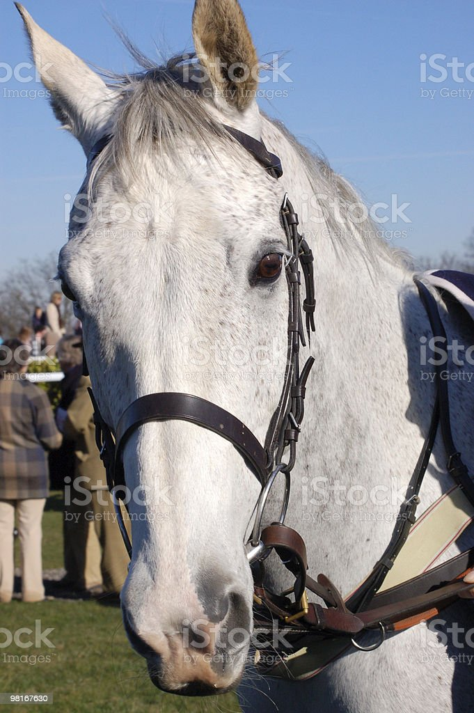 Grey racehorse royalty-free stock photo