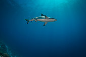 View of the grey reef shark (Carcharhinus amblyrhynchos) at the Blue Corner in Palau - Micronesia