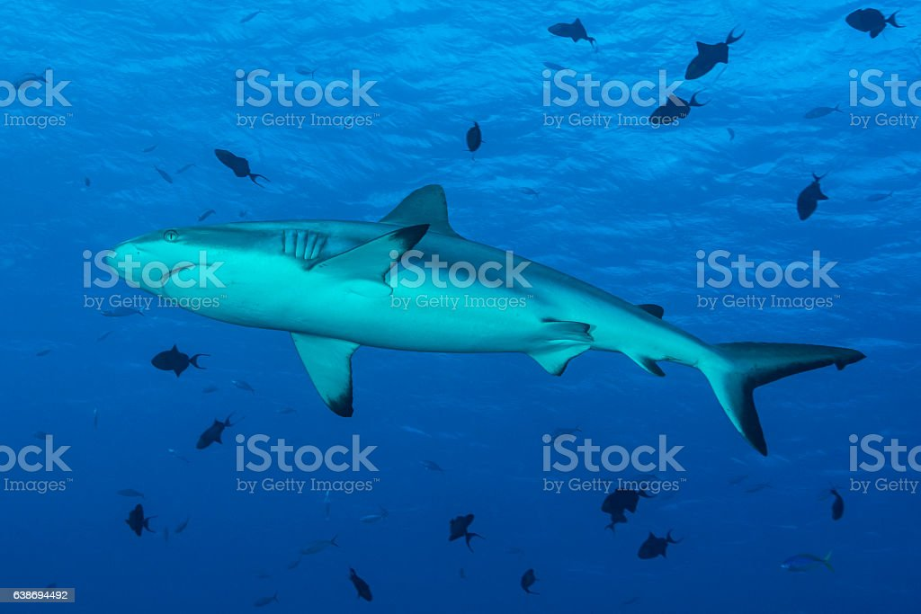 Grey reef shark - Palau, Micronesia stock photo
