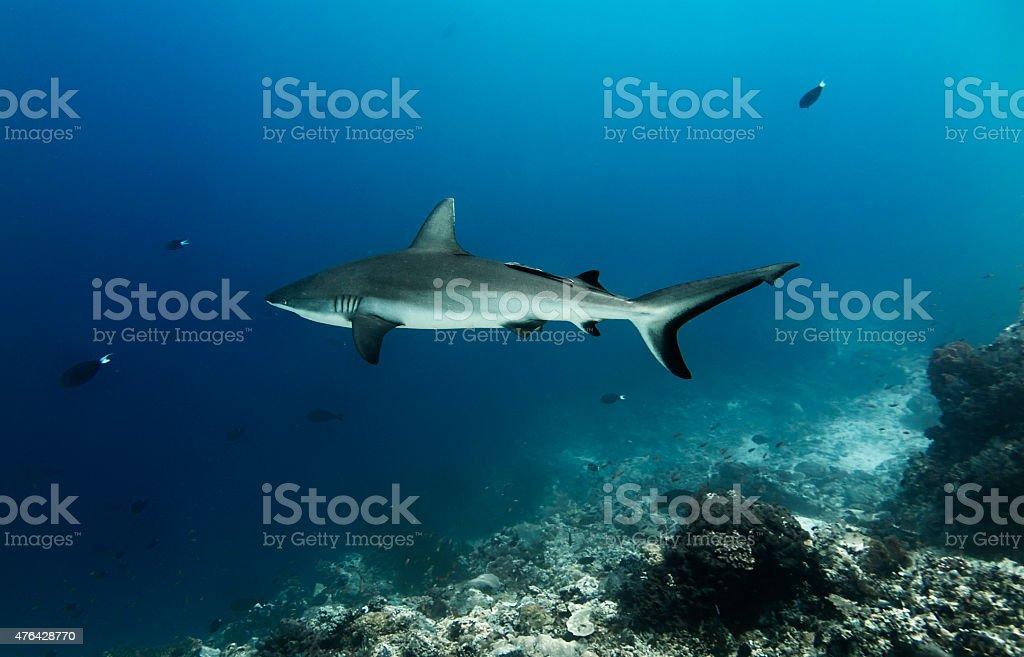 Grey Reef Shark stock photo