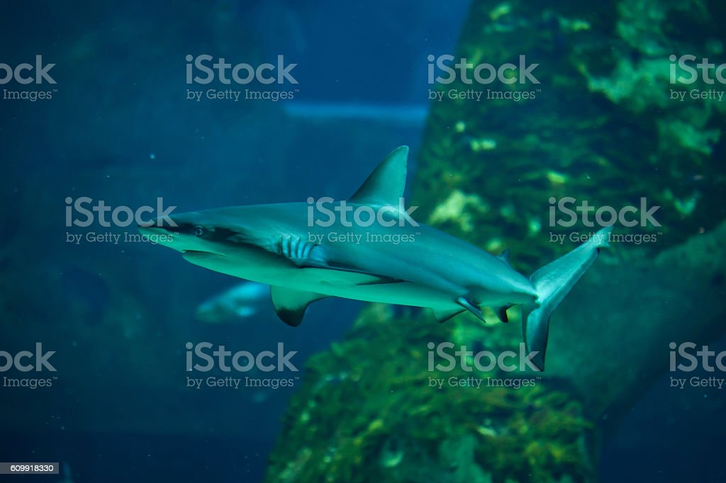 Grey reef shark (Carcharhinus amblyrhynchus). stock photo