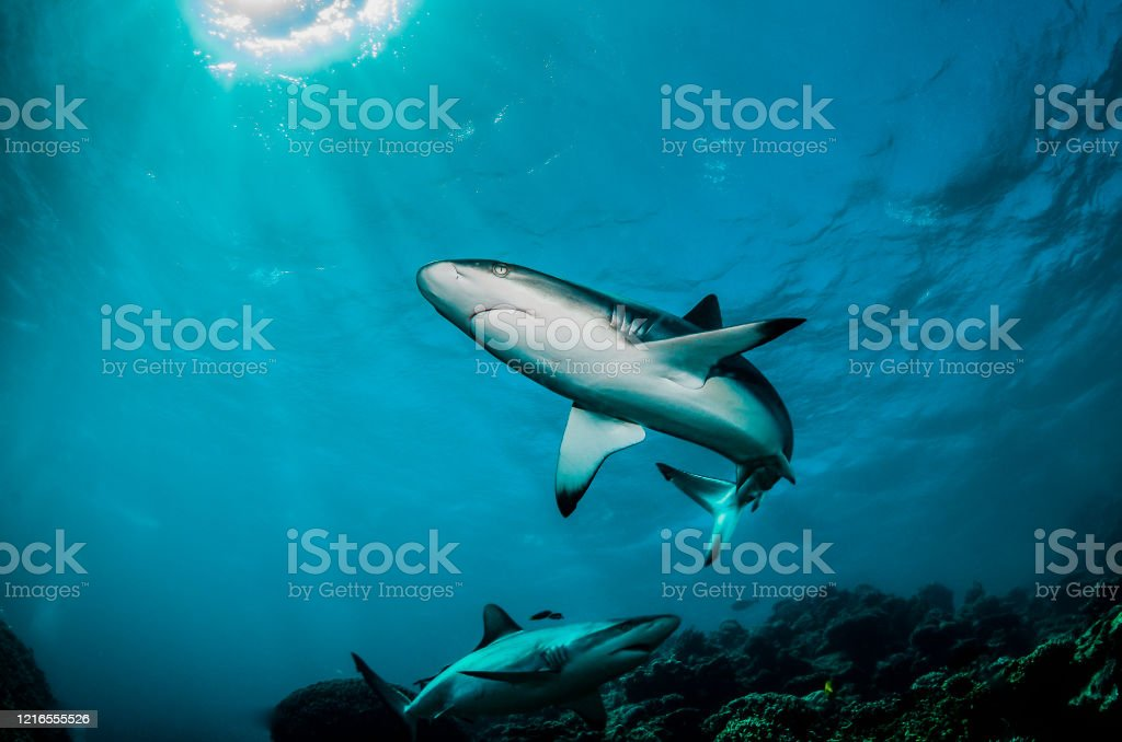 Grey Reef Shark Swimming Peacefully Among Coral Reef - Foto stock royalty-free di Animale selvatico
