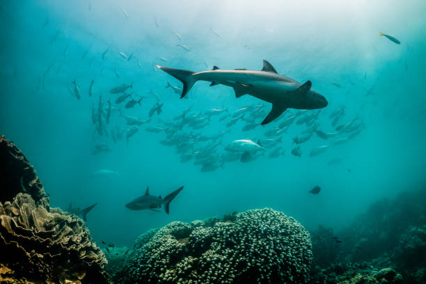 grey reef shark swimming peacefully among coral reef - convenzione sulla diversità biologica foto e immagini stock