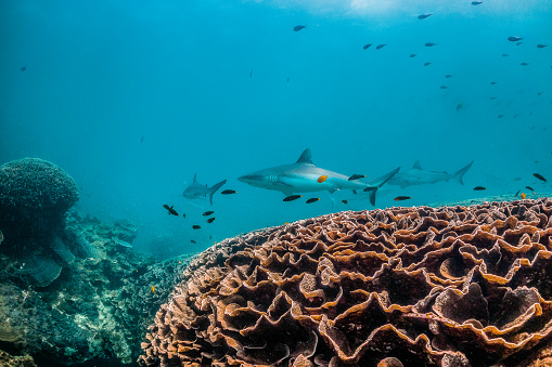 Grey Reef Shark Swimming Peacefully Among Coral Reef - Fotografie stock e altre immagini di Animale selvatico