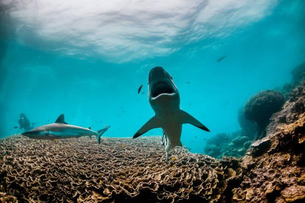 grey reef shark with mouth open, swimming towards the camera - convenzione sulla diversità biologica foto e immagini stock