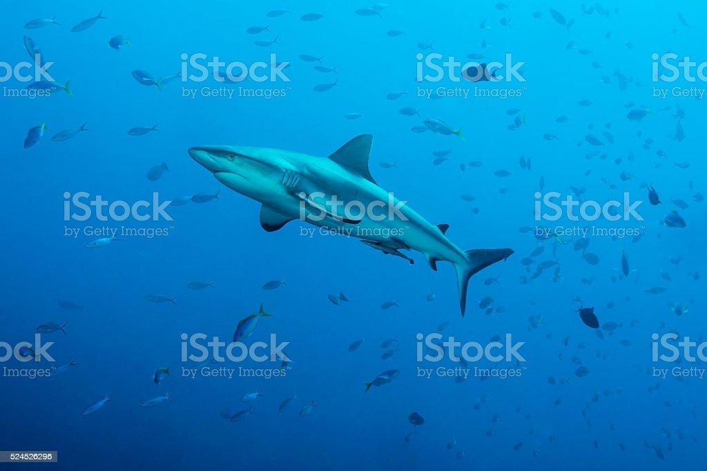 Grey reef sharks, Blue Corner - Palau stock photo