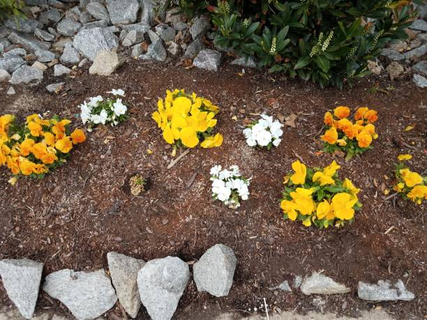 grey rocks and yellow and white flowers in mulch stock photo